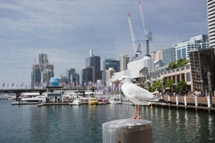 Silver Gull (Chroicocephalus novaehollandiae) perched on waterfront, Sydney, New South Wales, Austraの写真素材 [FYI03540207]