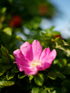 Pink rosehip flower on garden bushの写真素材 [FYI03540368]