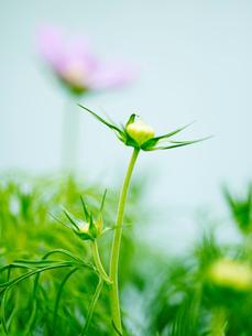 Close up of green flower bud in gardenの写真素材 [FYI03540374]