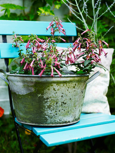 Garden plant with pink flowers in rustic tin plant potの写真素材 [FYI03540378]