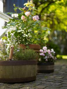 Rustic barrel flower pots and rose plants on garden terraceの写真素材 [FYI03540391]
