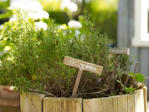 Oregano plant in rustic flower pot in gardenの写真素材 [FYI03540398]