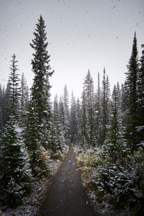 Snowfall in forest of pine trees, Alberta, Canadaの写真素材 [FYI03541381]