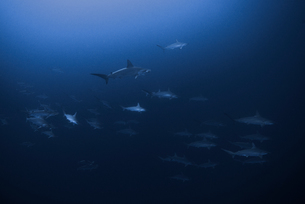 Scalloped Hammerheads (Sphyrna Lewini) form large schools and swim togetherの写真素材 [FYI03541402]