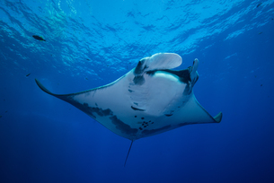 Giant Manta (Manta Birostris) gracefully glides out of deep blue to surfaceの写真素材 [FYI03541408]