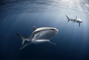 Curious Silky Shark (Carcharhinus Falciformis) swimming close to surfaceの写真素材 [FYI03541411]