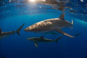 Curious Silky Shark (Carcharhinus Falciformis) swimming close to surfaceの写真素材 [FYI03541413]