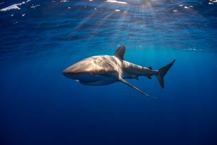 Curious Silky Shark (Carcharhinus Falciformis) swimming close to surfaceの写真素材 [FYI03541414]