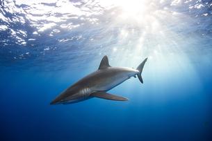 Curious Silky Shark (Carcharhinus Falciformis) swimming close to surfaceの写真素材 [FYI03541415]