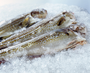 Raw whole cod on crushed iceの写真素材 [FYI03542393]