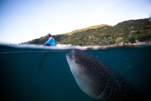 A huge Whaleshark (Rhincodon typus) swimming underneath a boat, Moalboal, Cebu, Philippinesの写真素材 [FYI03543270]