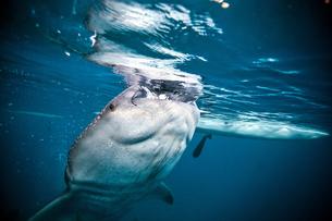 A huge Whaleshark (Rhincodon typus) swimming underneath a boat, Moalboal, Cebu, Philippinesの写真素材 [FYI03543273]