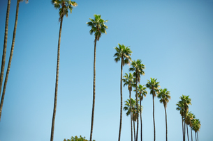 Row of tall palm trees, Los Angeles, USAの写真素材 [FYI03544339]