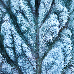 Full frame close up of frost on textured leafの写真素材 [FYI03545707]