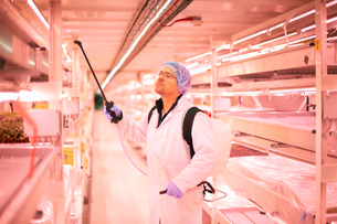 Male worker spraying shelves of micro greens in underground tunnel nursery, London, UKの写真素材 [FYI03545839]