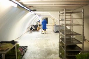 Workers preparing micro greens in underground tunnel nursery, London, UKの写真素材 [FYI03545850]