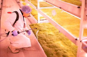 Male worker kneeling to spray tray of micro greens in underground tunnel nursery, London, UKの写真素材 [FYI03545851]