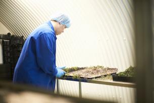 Worker monitoring seed tray in underground tunnel nursery, London, UKの写真素材 [FYI03545859]