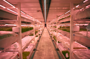 Aisle with shelves and trays of micro greens in underground tunnel nursery, London, UKの写真素材 [FYI03545865]