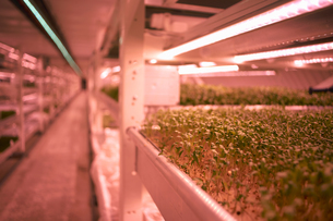 Close up of micro greens tray in underground tunnel nursery, London, UKの写真素材 [FYI03545866]