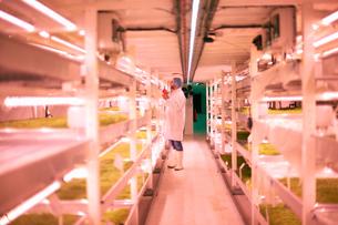 Worker tending micro greens in underground tunnel nursery, London, UKの写真素材 [FYI03545867]