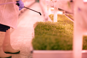 Cropped shot of worker spraying micro greens in underground tunnel nursery, London, UKの写真素材 [FYI03545868]