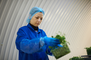 Woman wearing hair net and latex gloves packaging vegetablesの写真素材 [FYI03545877]