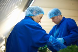 Workers on production line wearing hair nets packaging vegetablesの写真素材 [FYI03545910]