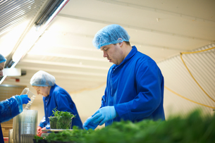 Workers on production line wearing hair nets packaging vegetablesの写真素材 [FYI03545913]