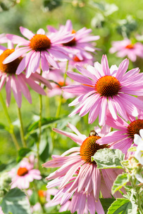 Close up of pink echinacea flowersの写真素材 [FYI03549784]