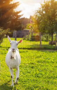Curious white goat in fieldの写真素材 [FYI03549785]
