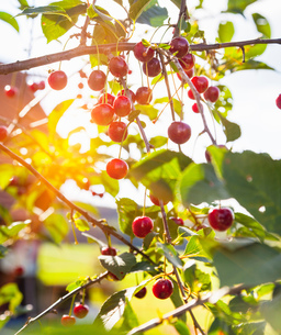Close up of ripe cherries on sunlit cherry treeの写真素材 [FYI03549805]