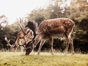 Two deer grazing, Aarhus, Denmarkの写真素材 [FYI03549848]