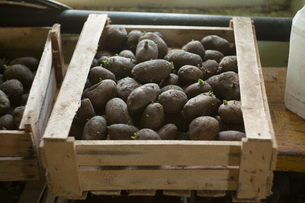 Crate of seedling potatoes in shedの写真素材 [FYI03550764]