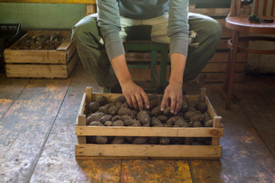 Man sorting crate of seedling potatoes in shedの写真素材 [FYI03550765]