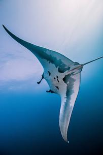 Giant oceanic manta rayの写真素材 [FYI03552567]