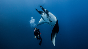 Scuba diver swimming with giant oceanic manta rayの写真素材 [FYI03552576]