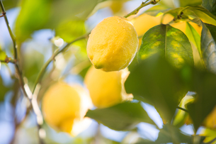 Lemons in lemon treeの写真素材 [FYI03552614]