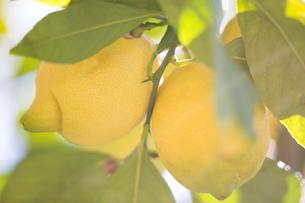 Close up of lemons in lemon treeの写真素材 [FYI03552616]