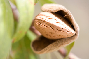 Close up of ripe almond (Prunus dulcis) in treeの写真素材 [FYI03552640]