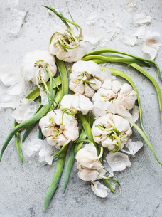 Overhead view of sprouting garlic bulbsの写真素材 [FYI03553176]