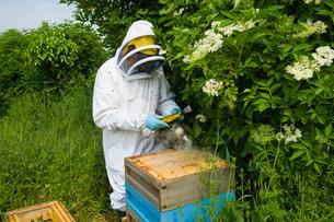 Beekeeper wearing protective clothing using bee smoker on hiveの写真素材 [FYI03553275]
