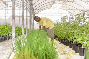 Worker picking chives in Hydroponic farm in Nevis, West Indiesの写真素材 [FYI03554008]