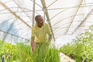 Worker picking chives in Hydroponic farm in Nevis, West Indiesの写真素材 [FYI03554010]