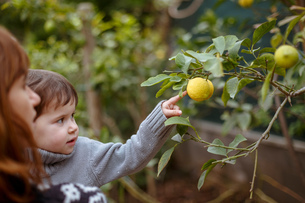 Mother and daughter looking at lemons on treeの写真素材 [FYI03554278]