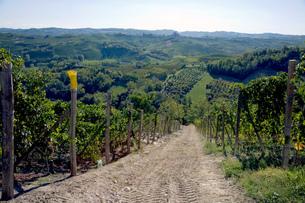 Vineyards, Nebbiolo, Langhe, Piedmont, Italyの写真素材 [FYI03555231]