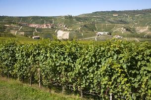 Vineyards, Nebbiolo, Langhe, Piedmont, Italyの写真素材 [FYI03555232]