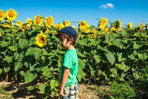 Boy standing in front of sunflower field, Franceの写真素材 [FYI03555586]
