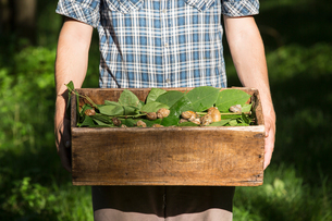 Man holding crate of foraged wild herbs and snails, Vogogna, Verbania, Piemonte, Italyの写真素材 [FYI03555716]
