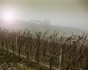 Vines and vineyard in fog, Barolo wine region, Langhe, Piedmont. Italyの写真素材 [FYI03556452]